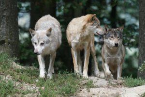costellazioni animali lupi worsopp drive