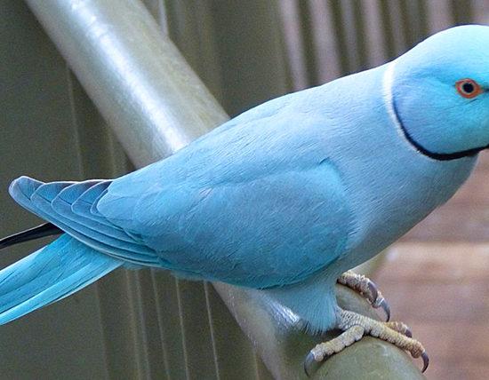 iside pappagallo migratore
